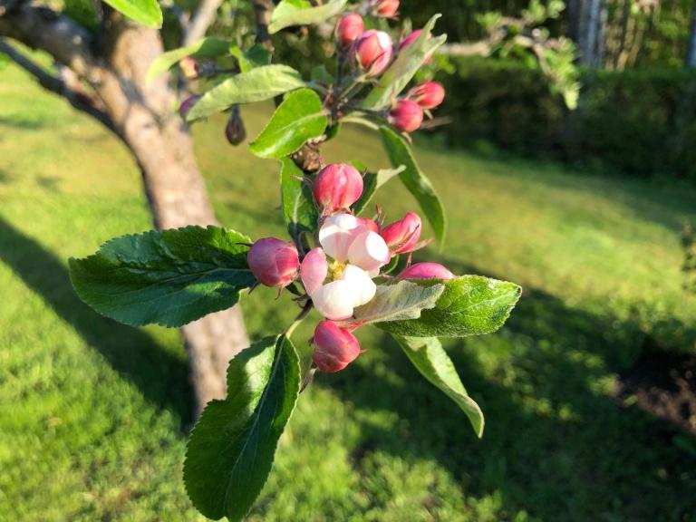 Äppelblom_liten